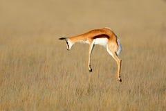 Free Jumping Springbok Antelope - South Africa Royalty Free Stock Photo - 171172705