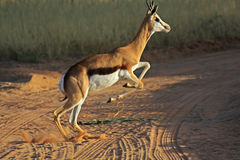 Jumping springbok Royalty Free Stock Images