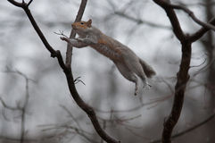 Jumping squirrel. Jumping gray squirrel from branch to branch royalty free stock photography