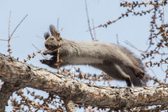 Jumping squirrel Stock Image