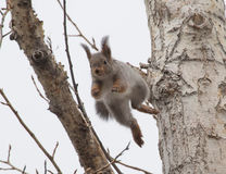 Jumping squirrel Royalty Free Stock Images