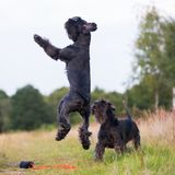 Jumping standard schnauzer dog on a country path Royalty Free Stock Images