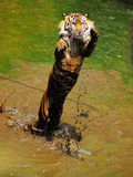 Jumping Sumatran Tiger. Sumatran Tiger jumping in a pool Royalty Free Stock Image