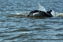 Jumping and swimming dolphins in the Danube delta, Black sea Royalty Free Stock Photos
