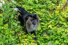 Spring tamarin searches for food. Jumping tamarins are also called Goeldis, after their discoverer: the Swiss researcher Emilio Goeldi royalty free stock images