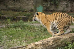 Jumping tiger. Tiger preparing to jump off log Stock Photos