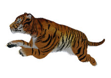 Jumping Tiger on White Royalty Free Stock Photography