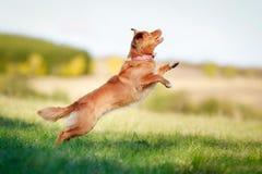 Jumping toller Stock Photos