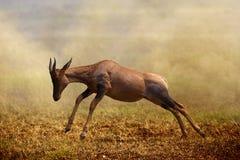 A jumping Topi antelope, Masai Mara. Kenya stock photo