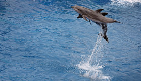 Jumping up dolphins. Group of trained dolphins jumping out of the water Royalty Free Stock Photos