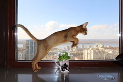 Сat jumping through a vase. Graceful cat jumping through a vase Royalty Free Stock Photography