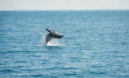 Jumping Wal Hervey Bay Royalty Free Stock Images