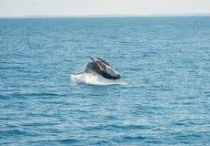 Jumping Wal Hervey Bay Royalty Free Stock Image