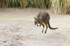 Jumping wallaby Royalty Free Stock Photos