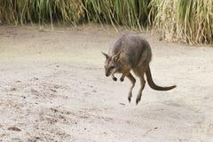 Jumping wallaby Royalty Free Stock Photos