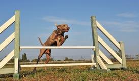 Jumping weimaraner Stock Image