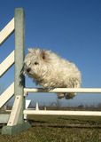 Jumping westie Royalty Free Stock Photo