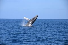 Jumping whale stock photos