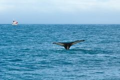 Jumping whale in sea on background of ship with tourists. Iceland. royalty free stock photography