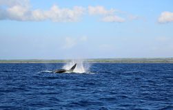 Jumping whale Royalty Free Stock Photos
