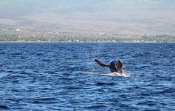 Jumping Whale. Wild humpback whale near Maui, Hawaii royalty free stock image