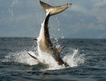 Jumping white shark. Jumping Great White Shark. Tail of the jumped-out white shark (Carcharodon carcharias stock photo