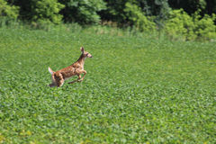 Jumping Whitetail Fawn royalty free stock photography
