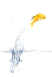 Jumping yellow fish. Yellow fish is jumping out of the water. Full isolated studio picture Royalty Free Stock Photos