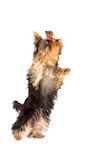 Jumping yorkshire terrier - dog Stock Photo