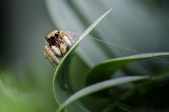 Jumpping spider Stock Photo