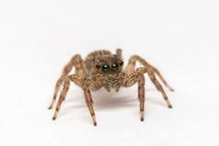 Jumpping-Spinne auf weißem Hintergrund stockfotografie