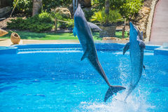 Jumps in the air, dolphin show Royalty Free Stock Photo