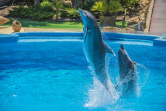 Jumps in the air, dolphin show Royalty Free Stock Images