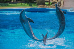 Jumps in the air, dolphin show Stock Image