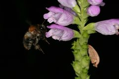 Jumpseed Physostegia virginiana flower with bumblebee royalty free stock image