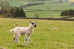Jumpy lamb in paddock Stock Photo