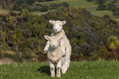Jumpy lambs Royalty Free Stock Photo