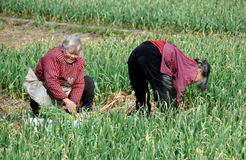 Jun Le China: Two Women Harvesting Garlic Royalty Free Stock Photos