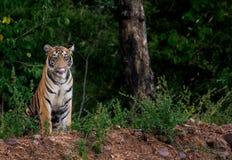 Junaibai& x27;s cub stock photography
