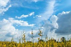 Juncea amarillo L del Crotalaria flor con el cielo azul brillante imagen de archivo
