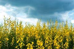 Juncea amarillo L del Crotalaria flor con el cielo azul brillante foto de archivo libre de regalías