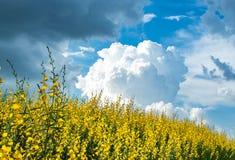 Juncea amarillo L del Crotalaria flor con el cielo azul brillante foto de archivo