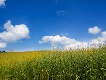 Juncea de Crotalaria dans le domaine Photo libre de droits
