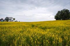 Juncea de Crotalaria ou gisements de fleurs de chanvre de Sunn images libres de droits