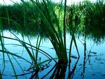 Juncia en agua Imagen de archivo libre de regalías