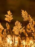 Juncia en luz de la puesta del sol Fotos de archivo libres de regalías