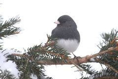 Junco σε έναν κλάδο με το χιόνι Στοκ εικόνα με δικαίωμα ελεύθερης χρήσης