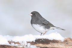 Junco σε έναν κλάδο με το χιόνι Στοκ φωτογραφία με δικαίωμα ελεύθερης χρήσης