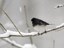 junco χιονώδες Στοκ Εικόνες