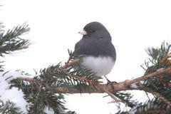 Junco на ветви с снегом Стоковое Изображение RF